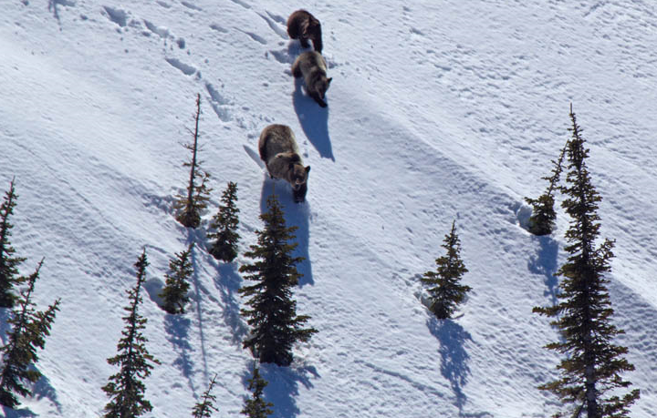 File image of grizzly bear and cubs, courtesy FWP