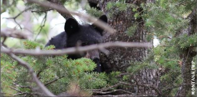 black bear cub captured earlier this week, courtesy Montana FWP