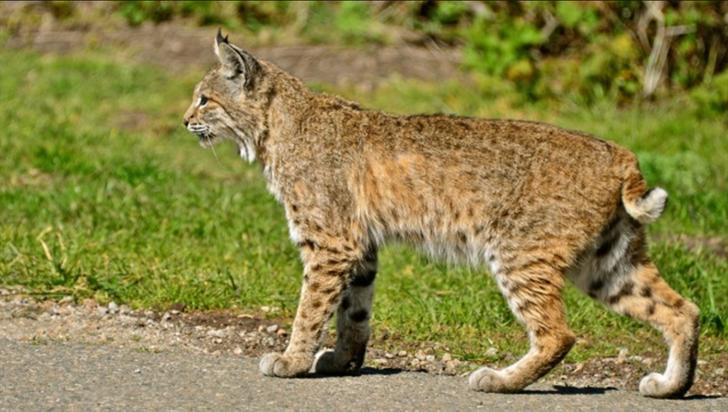 Bobcat stock photo by Linda Tanner via Flickr