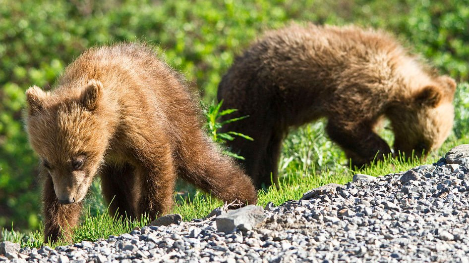 Grizzly cubs in Alaska (Wikimedia commons)