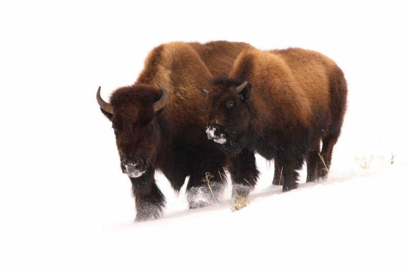 Bison slaughter in yellowstone national park is for Bison motors great falls