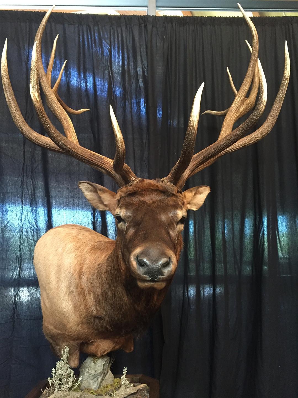 Archery world record elk on display in Missoula - KFBB.com