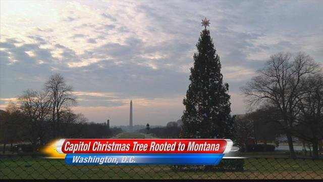capitol christmas tree to light up wednesday on west lawn in washington dc