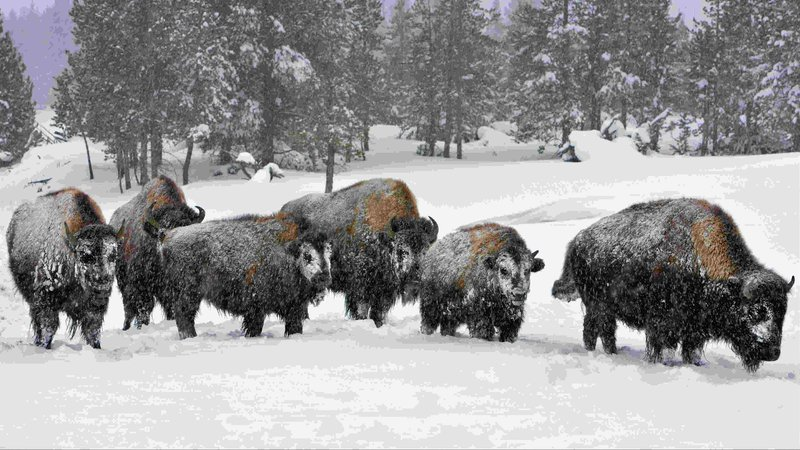 2 arrested at yellowstone park 39 s bison corral for Bison motors great falls