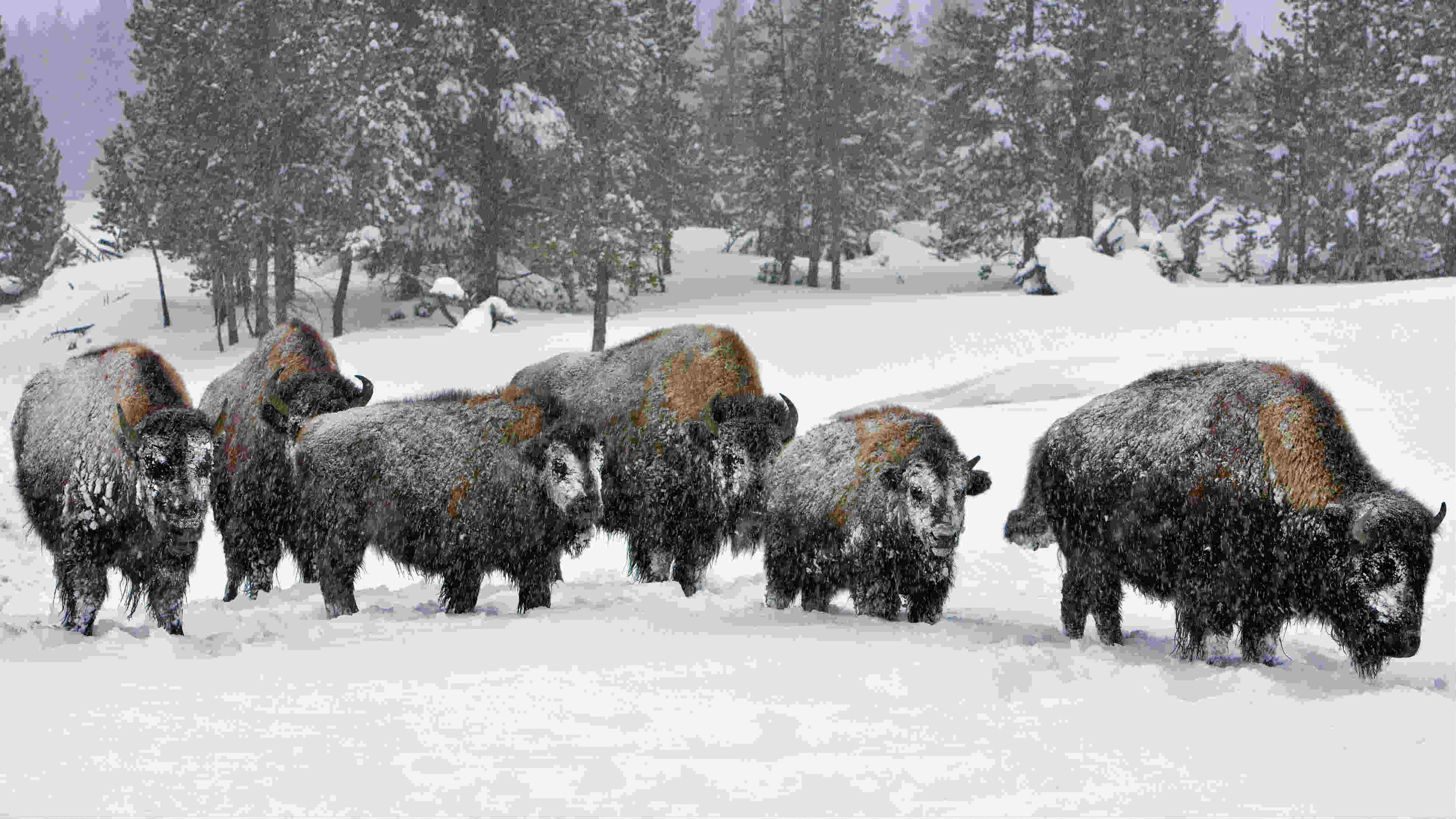 2 arrested at yellowstone park u0026 39 s bison corral
