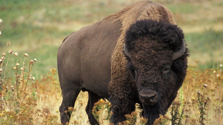 Montana students experience a bison harvest firsthand for Bison motors great falls