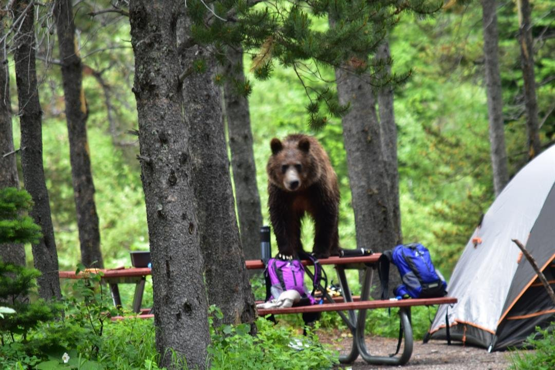 Grizzly bear in Many Glacier Campground File Photo Courtesy Glacier National Park Visitor