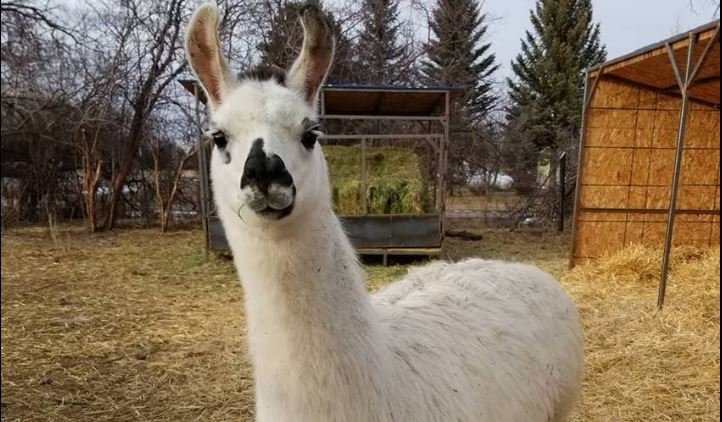 Wilderness Ridge Trail Llamas shared this photo of one of their llamas, named Chalula. She is not listed as the llama who went rogue.