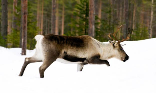Woodland caribou (stock photo courtesy Montana FWP)